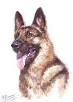 German shepherd. Watercolor.
